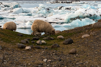 Glacial Sheep Lagoon