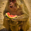 Mother and baby monkey enjoying a treat of watermelon along the side of the road between Delhi and Jaipur.