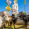 """Cows by a Hindu shrine on the side of the road in Jaipur.  The white one is the """"bad cow,"""" known by our trip leader to attack people who try to feed her."""