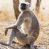 A pensive langur monkey.