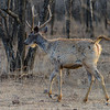The sambar is India's largest species of deer and favorite prey of tigers.