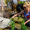 """Donna attempting to feed the """"bad cow."""""""