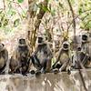 A group of langur monkeys.