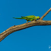 The  brightly colored parakeet is one of more than 450 species of birds in Ranthambore National Park.