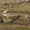 A white heron reflected in the water hole.