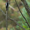 Downy woodpecker male.