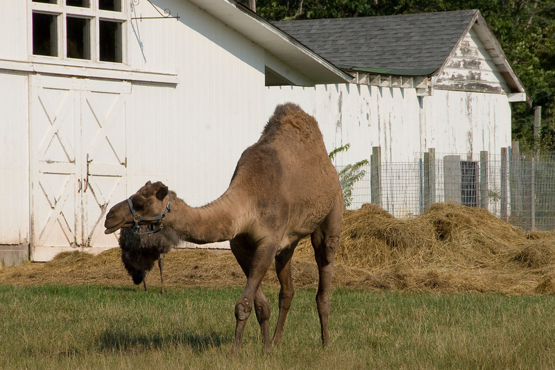 Yes, there is a camel on the island -- but why?