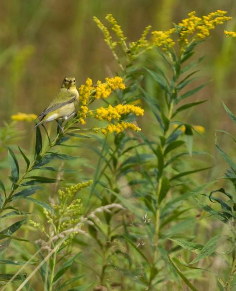 Goldfinch on goldenrod.