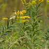Goldfinch on goldenrod.
