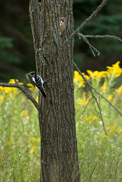 Male and female downy woodpeckers.