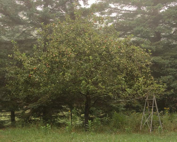 Old apple tree.