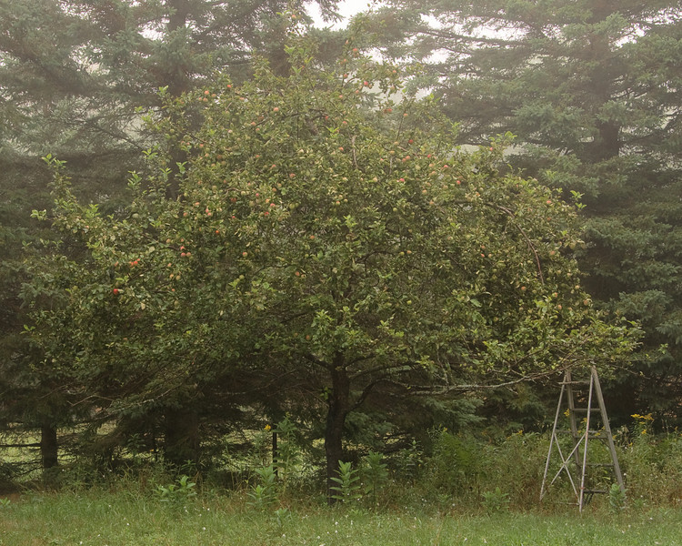 Old apple tree.