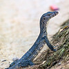 Juvenile Water Monitor Lizard
