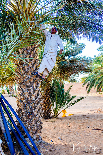 Moha demonstrates how to pollinate the dates by hand.  This arduous process is preferred over using birds, bees, or the wind to pollinate the fruit because it is believed to yield the best tasting dates.
