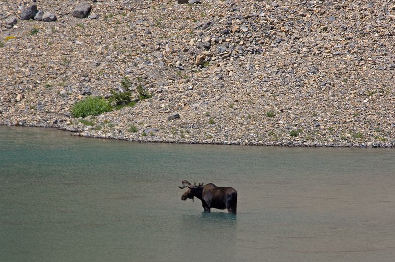 Moose in Little Iceberg Lake.