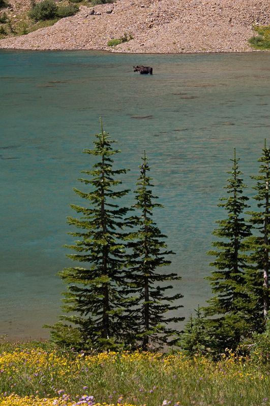 Moose in Little Iceberg Lake.