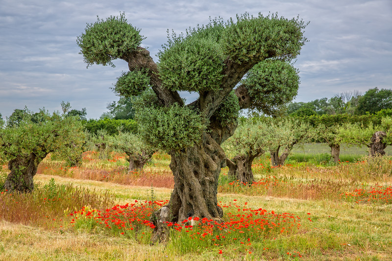 Olive trees with poppies