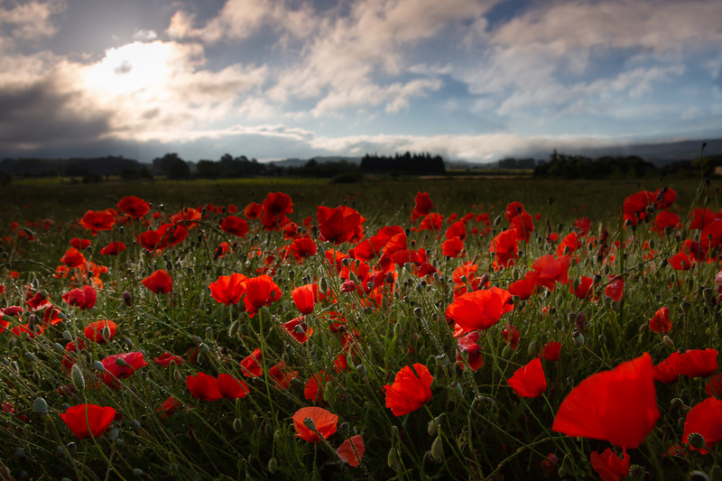 Red poppies blossom on wild field
