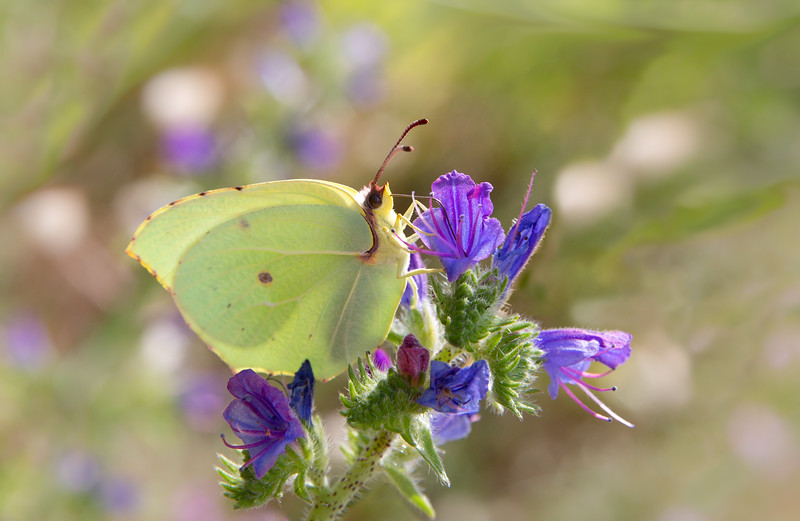 Common brimstone butterfly - Gonepteryx rhamni