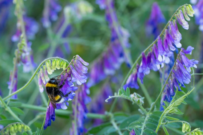 Garden bumblebee- Bombus hortorum -  Gartenhummel