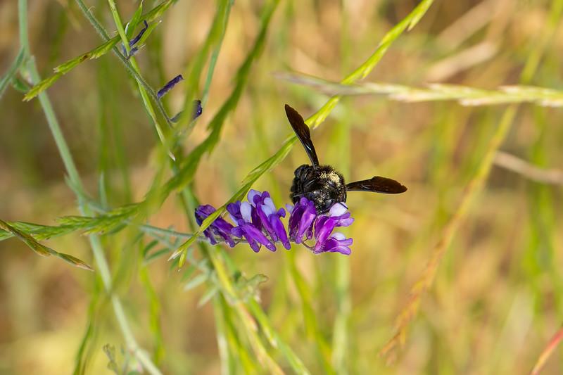 Violet carpenter bee - Xylocopa violacea - Große Holzbiene
