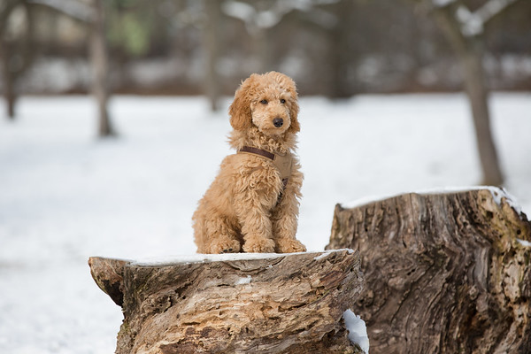 Poodle puppy sitting on a tree trunk