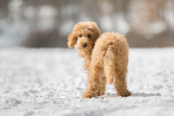 Poodle puppy standing in the snow