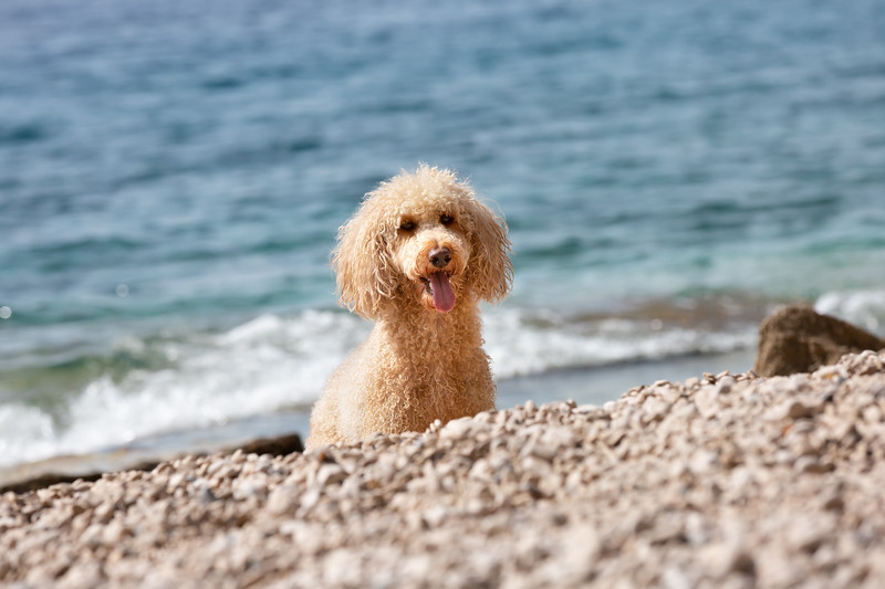 Portrait of a young poodle dog on the sunny beach