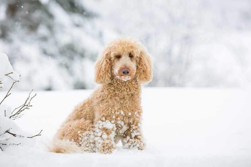 Young apricot poodle posing outside in the snow
