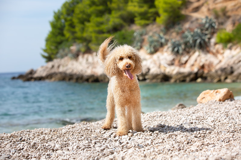 Portrait of a young apricot poodle dog on the sunny beach
