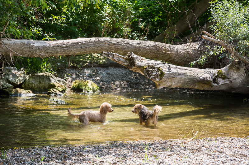 Young terrier and a young poodle playing joyfully in a wild Leitha river