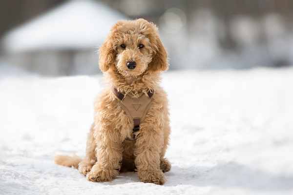 Poodle puppy sitting in the snow