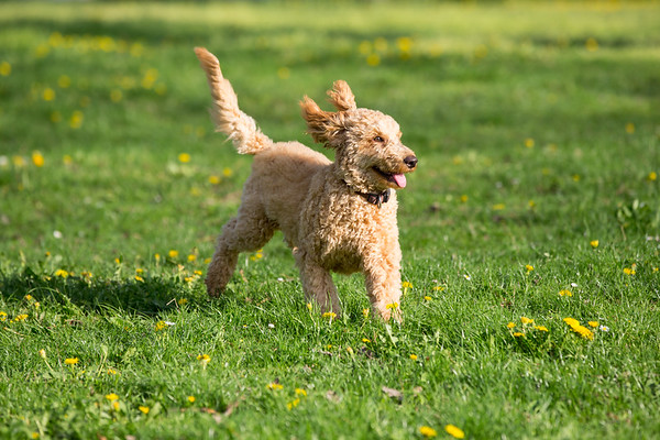 Young poodle running and jumping joyfully in a meadow.