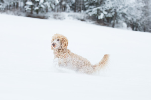 Young apricot poodle is jumping and enjoying in the snow