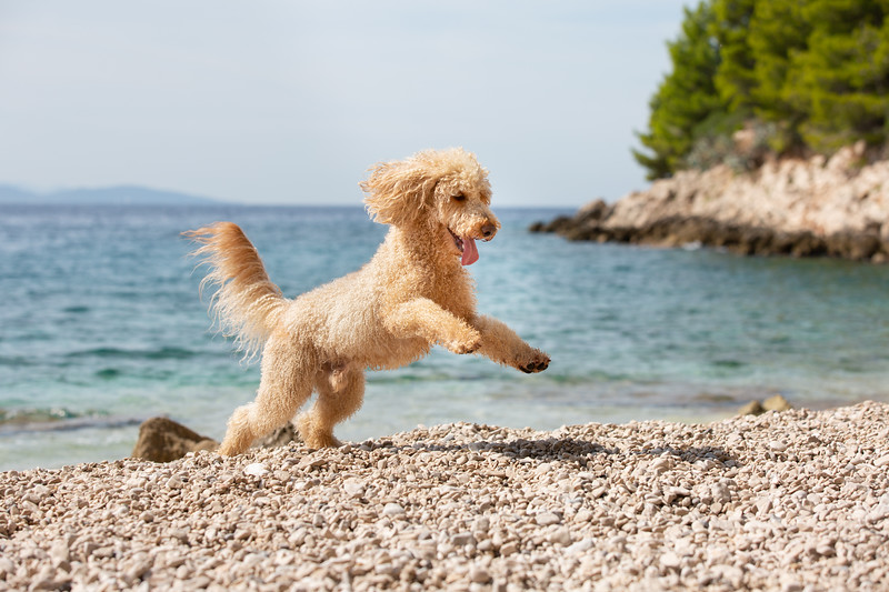 A young apricot poodle playing joyfully on the sunny beach