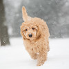Pudel in schnee - Poodle snow fun