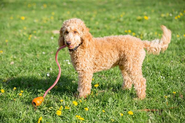 Young apricot poodle portrait.