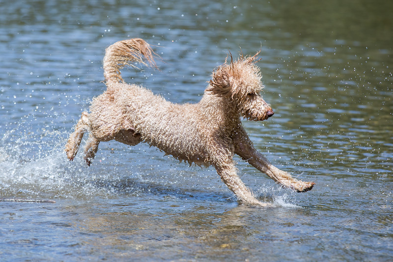 Portrait of a young Poodle dog in the wild Leitha river