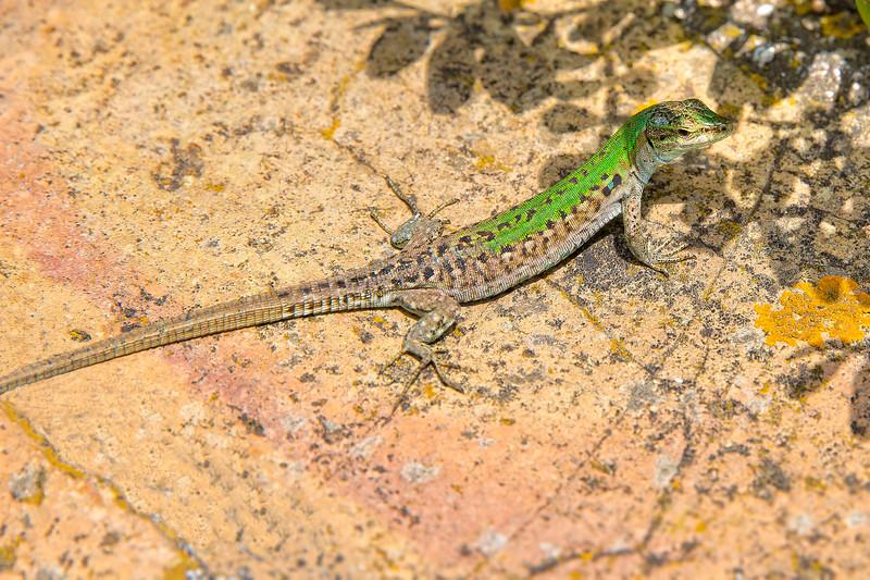 Italian wall lizard or ruin lizard - Podarcis siculus