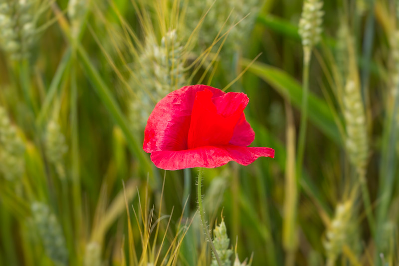 Red poppy in the cornfield