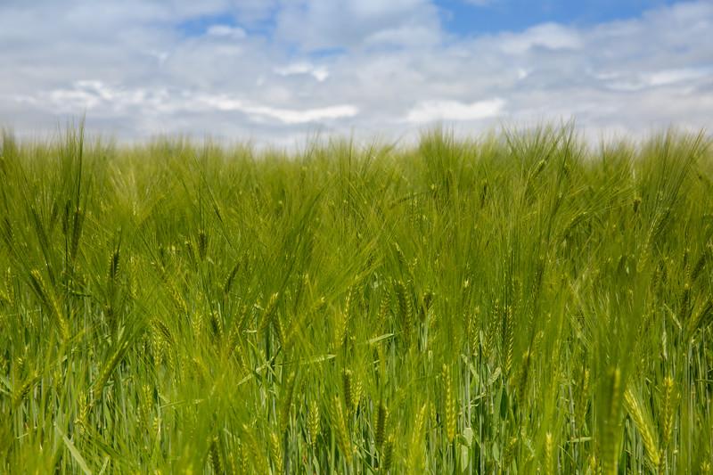 Green wheat ears growing in field