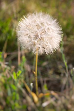 Meadow salsify - Tragopogon pratensis - Wiesen-Bocksbart