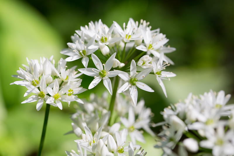 Beer leek - Allium ursinum