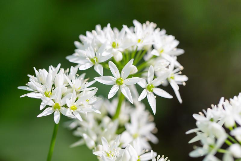 Beer leek - Allium ursinum