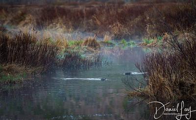 Swimming Beavers