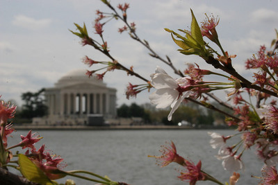 Cherry Blossoms, Washington DC