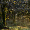 Quinault Rain Forest, Quinault Lake, Olympic National Park, Washington