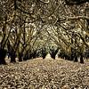 Hazelnut grove, McMinnville, Oregon 9732
