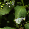 Intag cloud forest butterfly