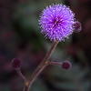 Purple snowball